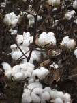 Cotton fields and fall leaves008