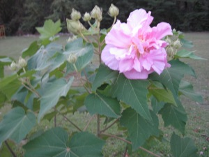 Confederate Rose bush Oct. 2012
