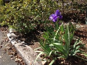Iris in bloom at T.H. Broyhill Walking Park in Lenoir, NC. Copyright 2015, Linda Martin Andersen