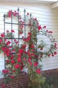 Rose by Linda Martin Andersen. Copyright 2016